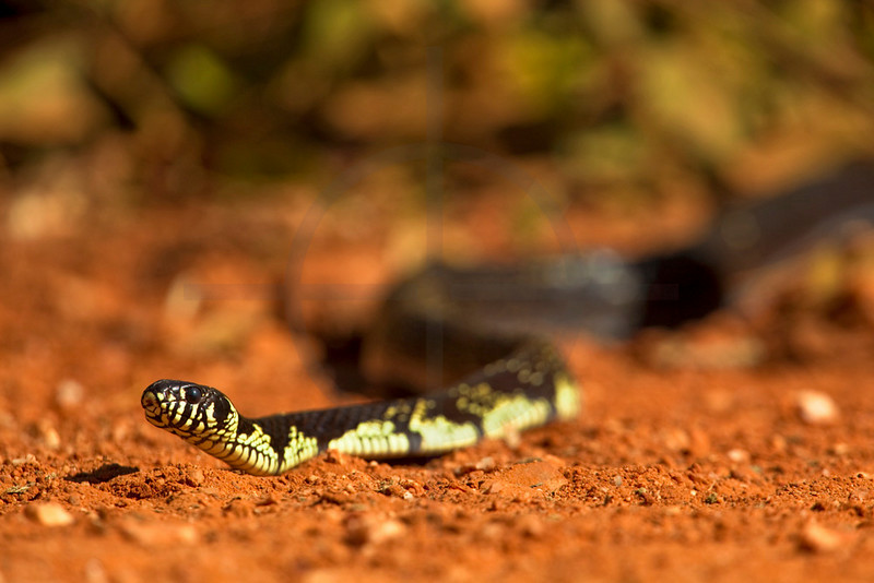 Tiger rat snake crossing the Transpantaneira, Pantanal, Brazil