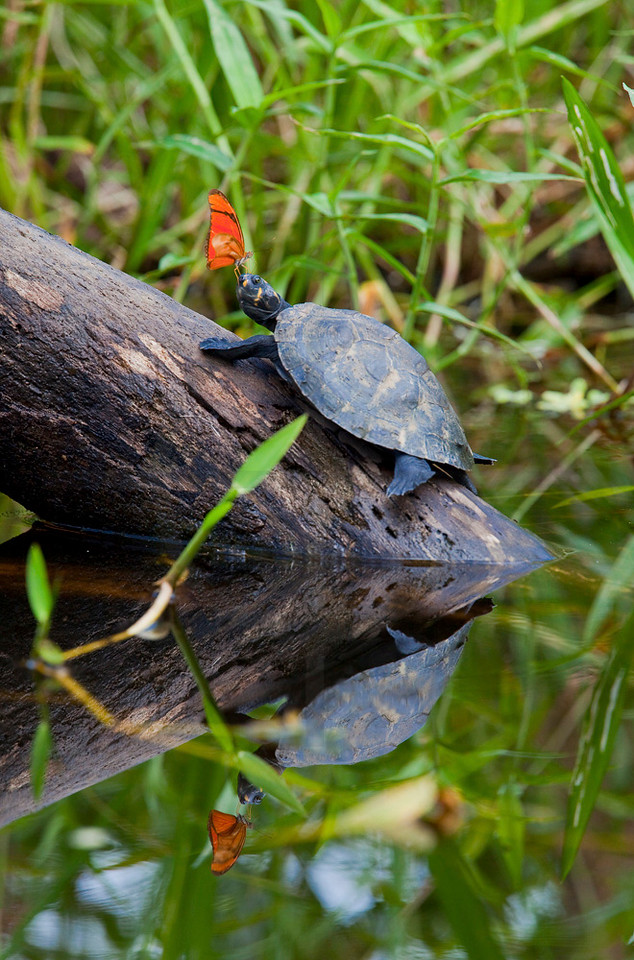 Butterfly bothering a yellow headed river turtle, Yasuní National Park, Ecuador