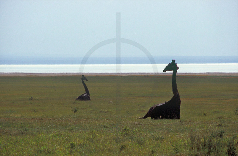 Maasai giraffes at rest, Lake Manyara National Park, Tanzania