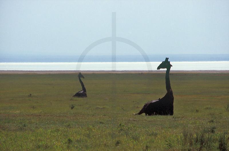 Maasai giraffes at rest, Lake Manyara National Park, Tanzania