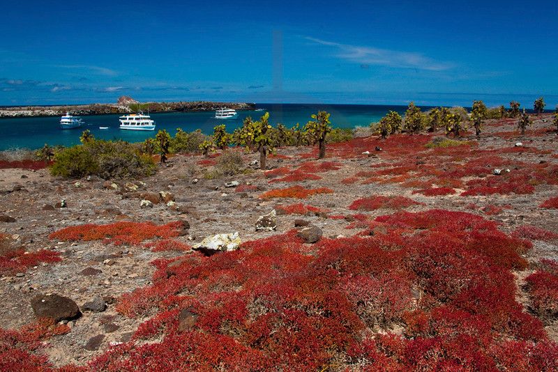 Sea purslane, prickly pear cacti and tourist boats, South Plaza, Galápagos Islands, Ecuador
