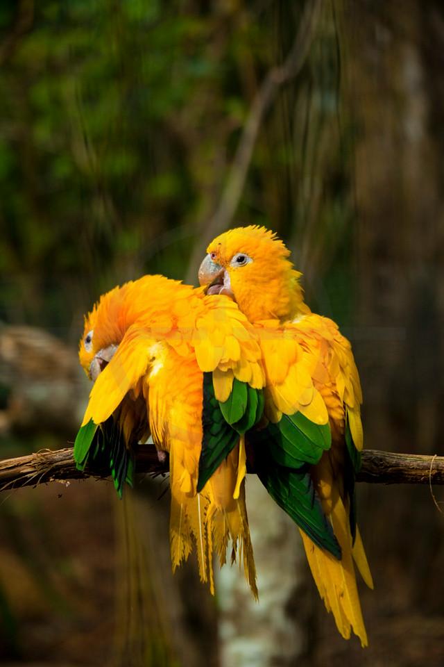 Pair of golden parakeets, Bird Park, Foz do Iguaçu, Paraná, Brazil