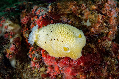 Banana Nudibranch