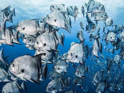 Spade Fish Parade