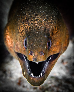 Portrait of a Moray