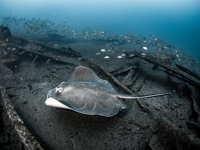Caribsea Stingray