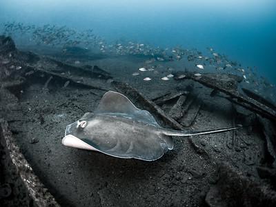 Caribsea Stingray