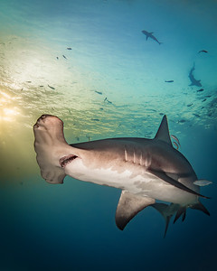 Portrait of a Hammerhead at Sunset