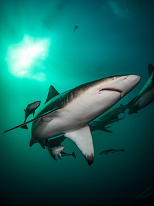 Portrait of an Oceanic Blacktip