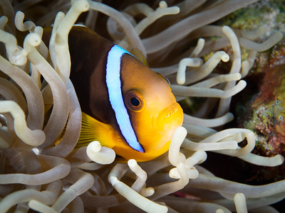 Comfy Clown Fish