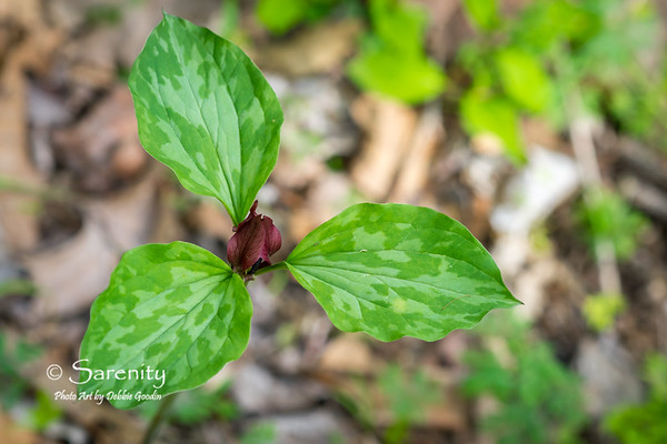 Prairie Trillium Bloom