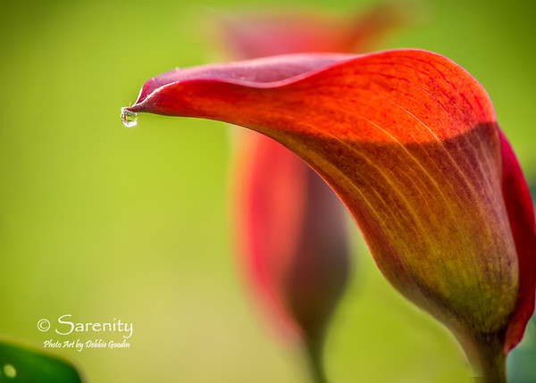 Calla Lily Dew Drop