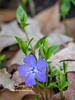 Periwinkle Bloom
