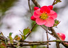 Japanesse Quince Bloom