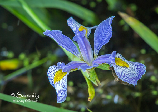 Virginica Bloom
