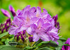 Purple Rhododendron Bloom Cluster