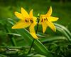 Yellow Dalilies