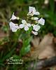 White Spring Cress
