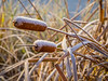 Frost covered cattails at Chinook Fish & Wildlife Refuge!