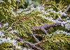 Frost crystals formed on evergreen branches at Chinook Fish & Wildlife Refuge!