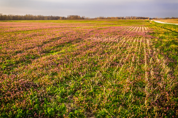 A carpet of wildflowers blankets this farm field in Clay County, IN on a beautiful Spring morning!