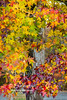 An amazing variation of Autumn colors all on the same Sweet Gum Tree in Spring Mill State Park!  The bark of a Sycamore Tree can be seen behind the collage of leaves!
