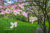 Pink Dogwood - Spring's History