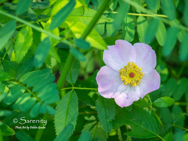 A delicate wild rose bloom welcomes Spring at Lincoln Trail State Park in Marshall, Illinois!
