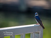 A Tree Swallow perched on the rail of a floating dock!