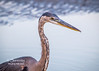 A beautiful Great Blue Heron fishes along the shores of the Gulf in Biloxi, Mississippi!