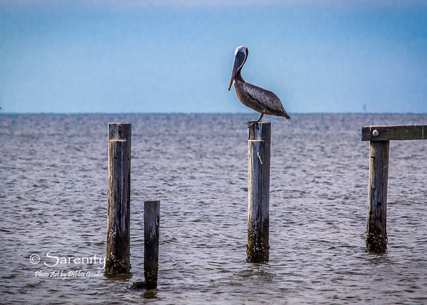 Brown Pelican resting on a post in the waters of the Gulf!