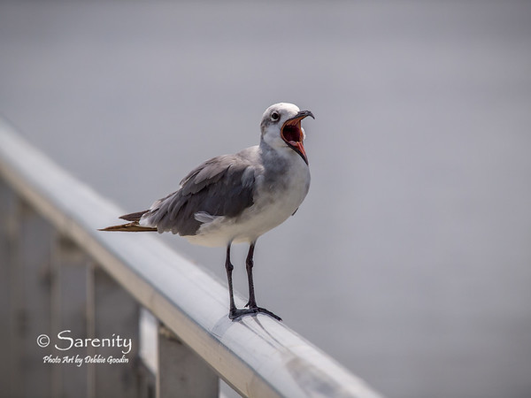 A yawning Sea Gull!