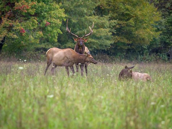 Smoky Mountain National Park Elk Herd