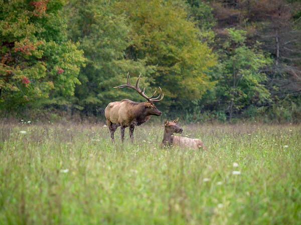 Smoky Mountain National Park Elk Herd