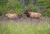 Elk Love