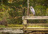 A beautiful Great Blue Heron lounges on this dock rail in Spring Mill State Park one Fall day!