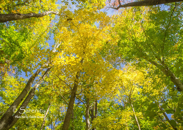 Vibrant Fall color in the canopy of these big trees inside Turkey Run!
