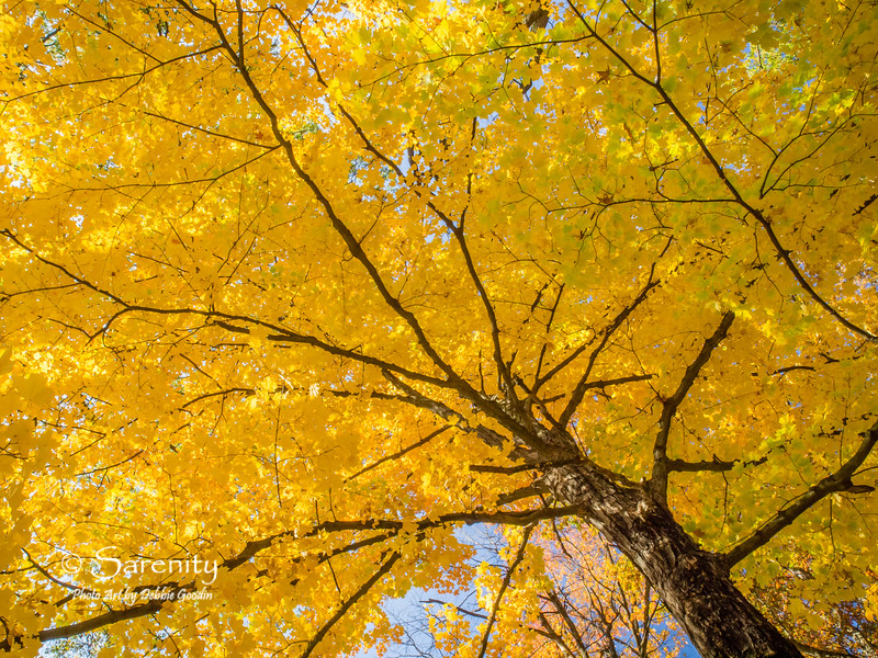 Maple's Canopy of Gold