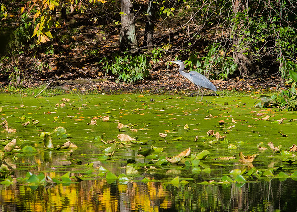 A graceful Great Blue Heron walks through the waters edge in this Fall scene taken at Shakamak State Park!