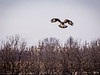 This Rough Legged Hawk prepares to dive in on it's prey at Chinook Fish & Wildlife Area in Clay County, IN!