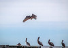 A Brown Pelican in flight over perched and resting Pelicans!