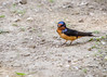 A Barn Swallow photographed in Eastern Vigo County, IN!