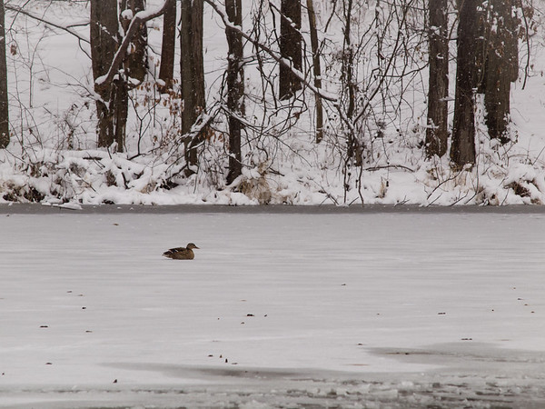 A female Mallard Duck sits on the ice of Maple Avenue Lake in Hawthorn Park one cold Winter day!