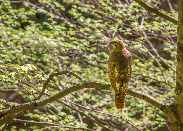 A juvenile Redtail Hawk I photographed in McCormick's Creek State Park!