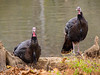 Wild Turkeys at Radnor Lake State Park in Nashville, TN!