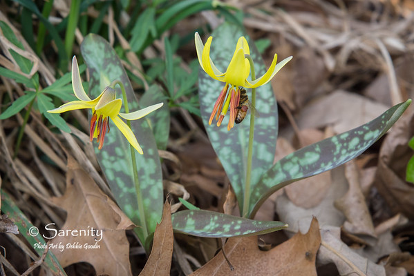 I photographed this bee collecting pollen from this Mottle-Leaved Trout Lily!