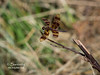 A beautiful dragon fly preparing to take flight at Chinook Fish & Wildlife Area!