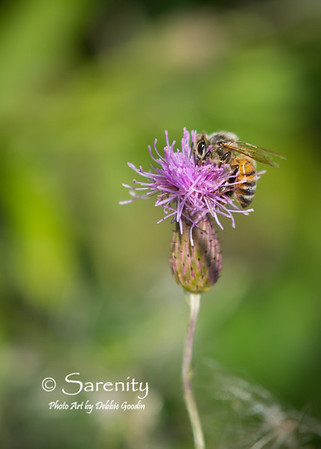 An amazing bee on a thistle plant at Chinook Fish & Wildlife Area one Summer morning!