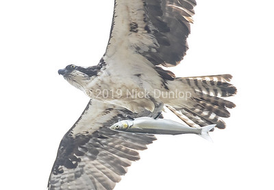 Osprey with Smelt