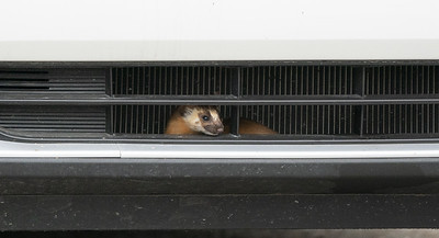 Weasel hitchhiker